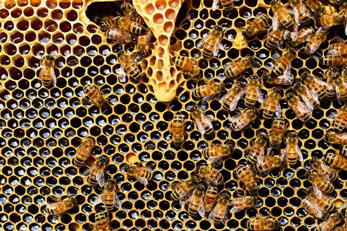 queen-cup-honeycomb-honey-bee-new-queen-rearing-compartment-56876.jpg